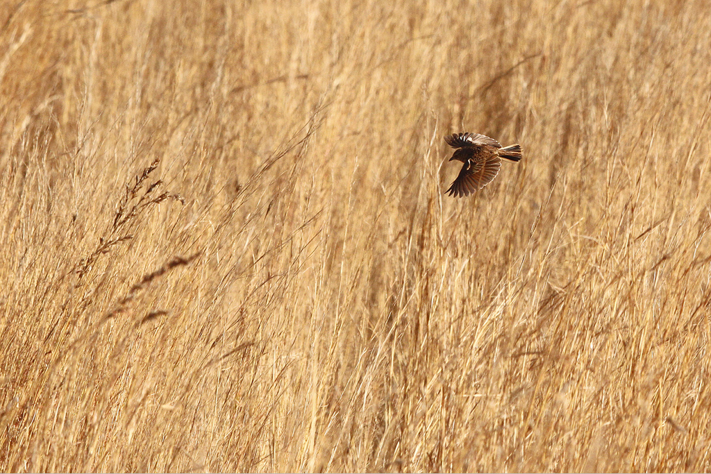 Flappet Lark – Mabusa National Park, Mpumalanga, South Africa – 23 August 2014
