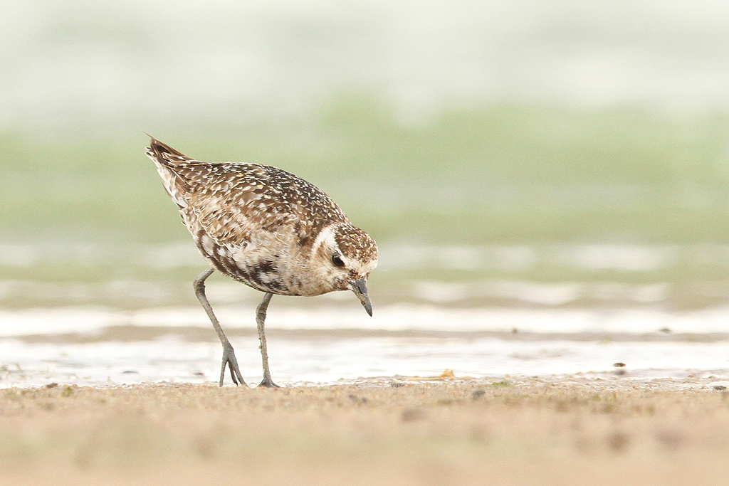 Pacific Golden Plover / Borakalalo National Park, South Africa / 24 October 2014
