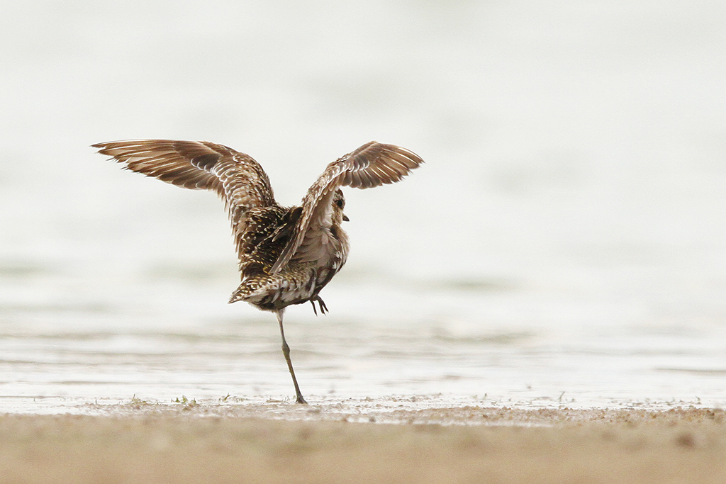 Pacific Golden Plover (karate kid) / Borakalalo National Park, South Africa / 24 October 2014