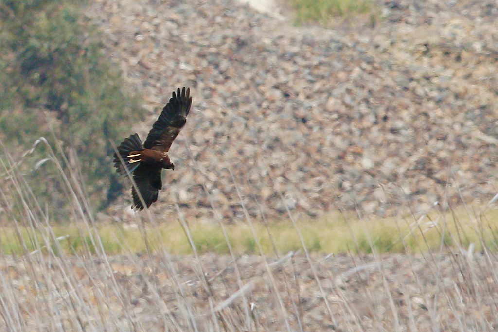 Western Marsh Harrier / Marievale Bird Sanctuary, South Africa / 21 November 2014