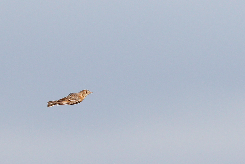 Cape Clapper Lark / Agulhas Plains, Western Cape, South Africa / 29 December 2014
