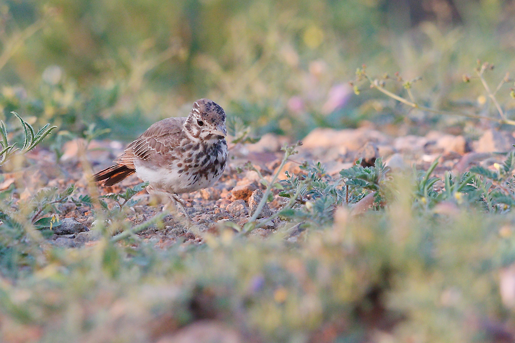 Dusky Lark / Kgomo Kgomo, North West Province, South Africa / 04 January 2015