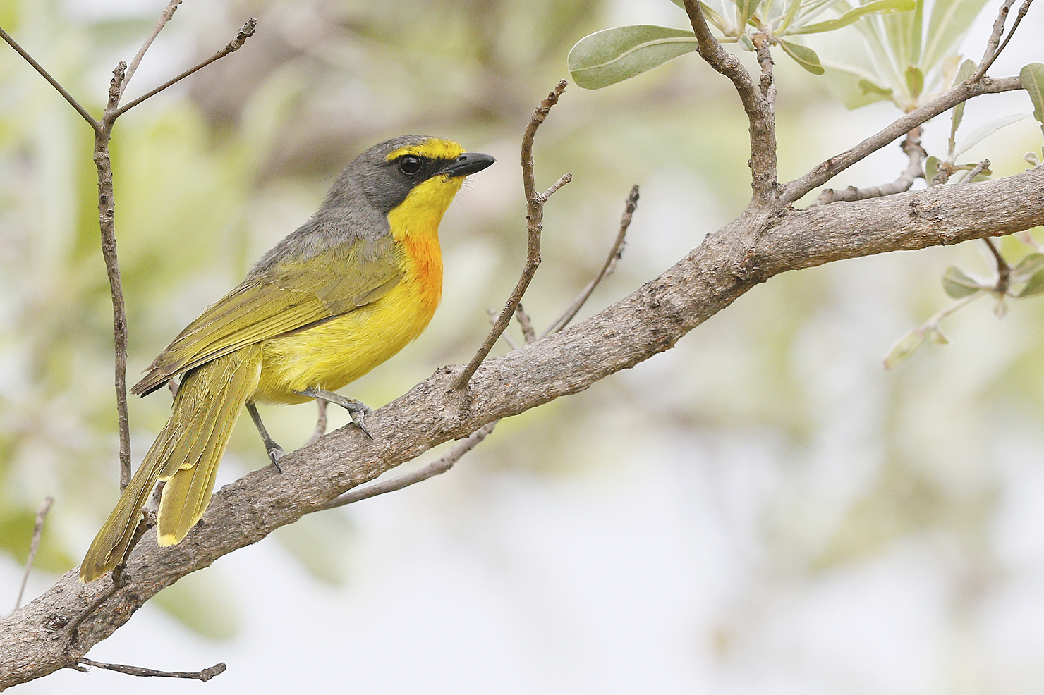 Orange-breasted-Bush-shrike-adult-Mabula-Game-Reserve-Waterberg-South-Africa-07-January-2015-BEST-2-CR-SMSH2