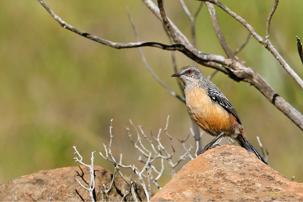 Drakensberg Rockjumper (female) / Sani Pass, KwaZulu Natal, South Africa / 15 April 2015