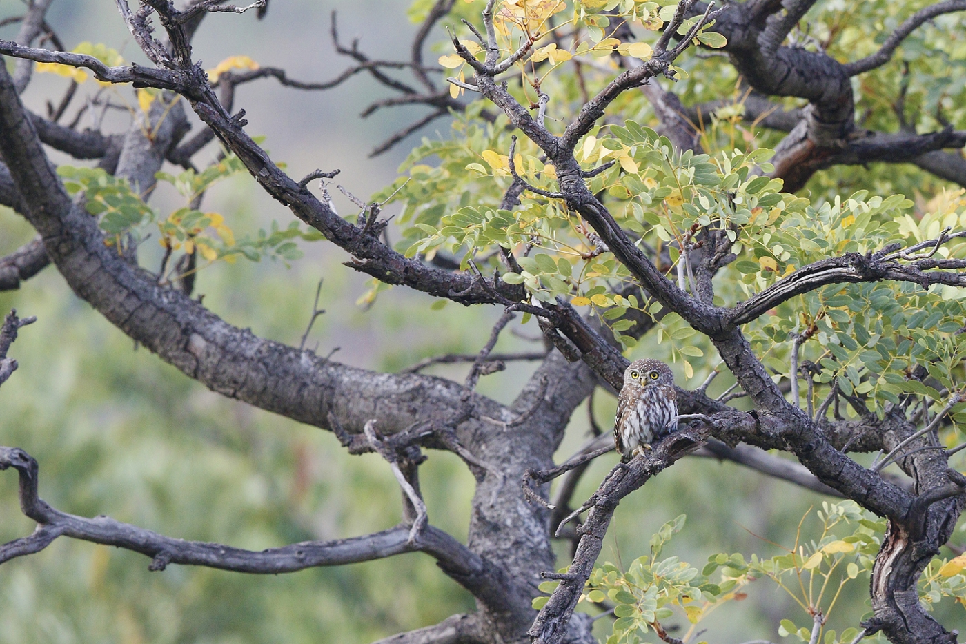 Pearlspotted Owl – Shondoro, Vaalwater, South Africa – 21 March 2015 BEST 5 SM OWL SH