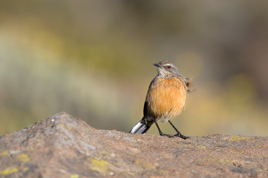 Drakensberg Rockjumper (female) / Tenahead Mountain Lodge, Eastern Cape, South Africa / March 2018