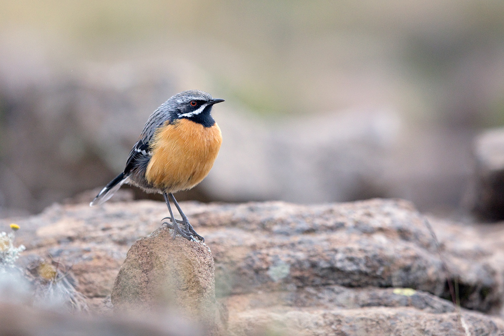 Drakensberg Rockjumper (male) / Tenahead Mountain Lodge, Eastern Cape, South Africa / March 2018