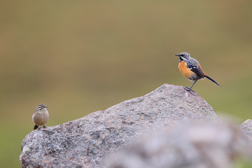 Drakensberg Rockjumper (sub-adult) / Tenahead Mountain Lodge, Eastern Cape, South Africa / March 2018
