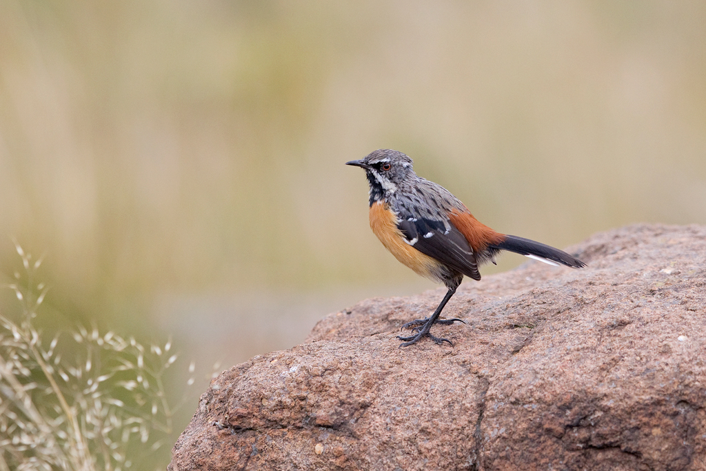Drakensberg Rockjumper (sub-adult)) / Tenahead Mountain Lodge, Eastern Cape, South Africa / March 2018