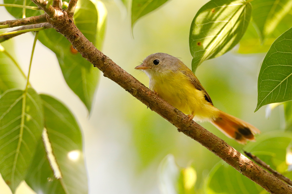 Livingstone's Flycatcher / Coutada 11, Mozambique / December 2019
