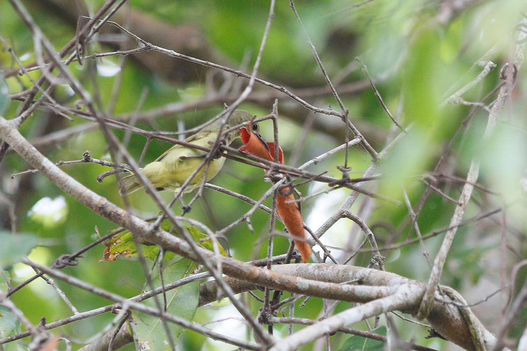 Plain-backed Sunbird (female) / Lowland Forest, Coutada 12, Mozambique / 12 October 2015