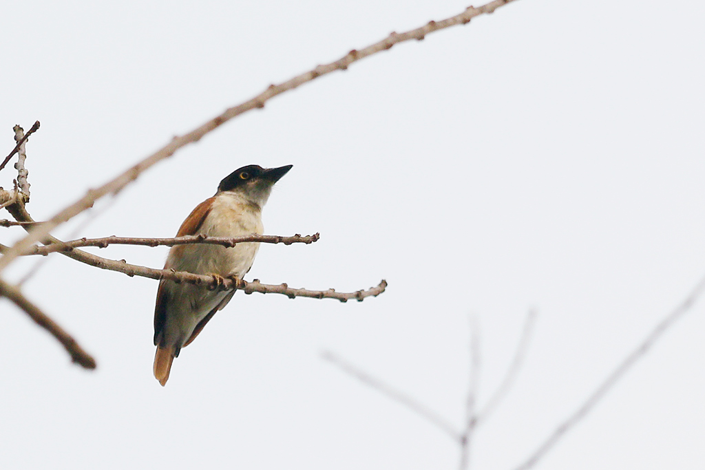 Vanga (or Black-and-White Shrike) Flycatcher / Coutada 11, Mozambique / 12 October 2015