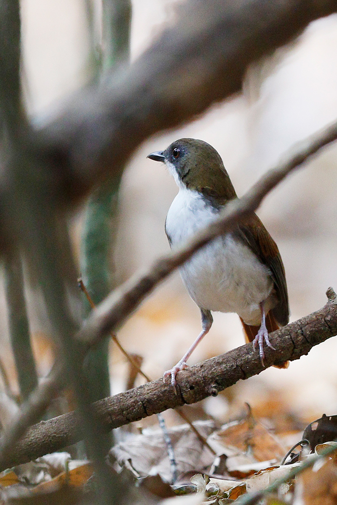 White-chested Alethe / Coutada 11, Mozambique / 12 October 2015