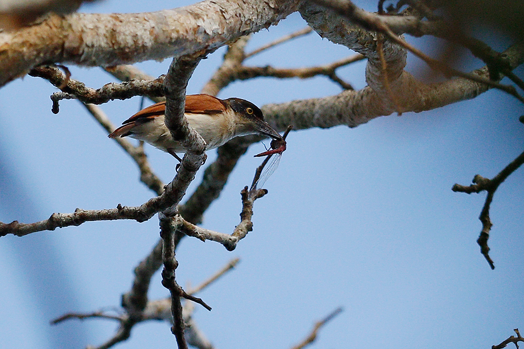 Vanga (or Black-and-White Shrike) Flycatcher / Coutada 11, Mozambique / 13 October 2015