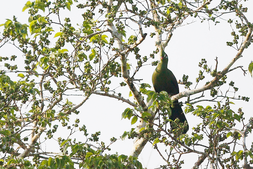 Livingstone's Turaco / Coutada 11, Mozambique / 13 October 2015