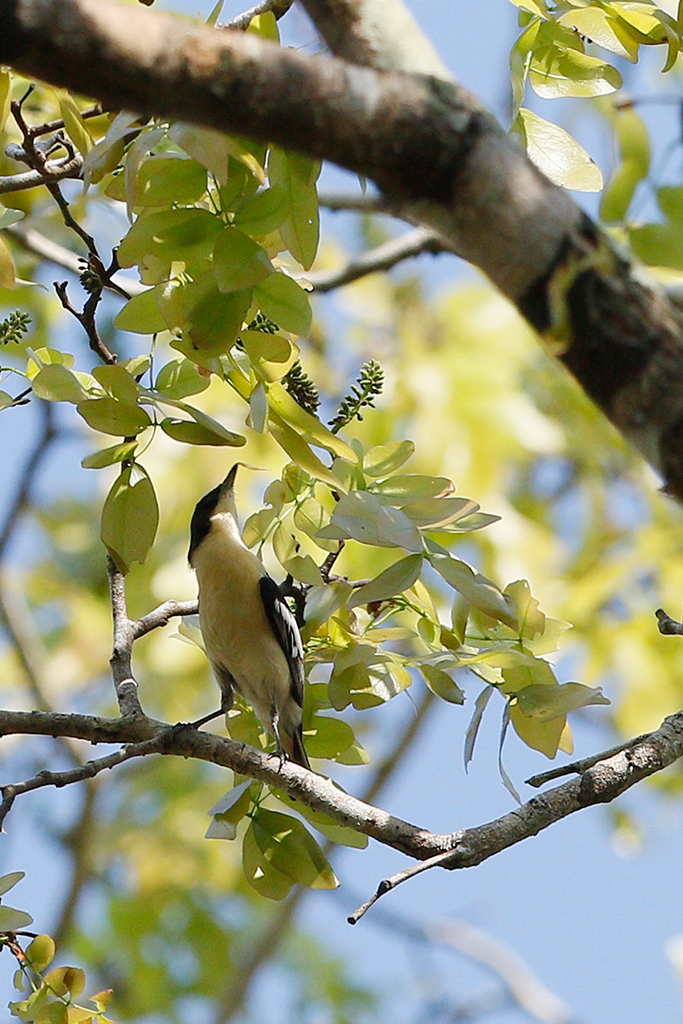Southern Hyliota / Miombo Woodland, Coutada 12, Mozambique / 13 October 2015