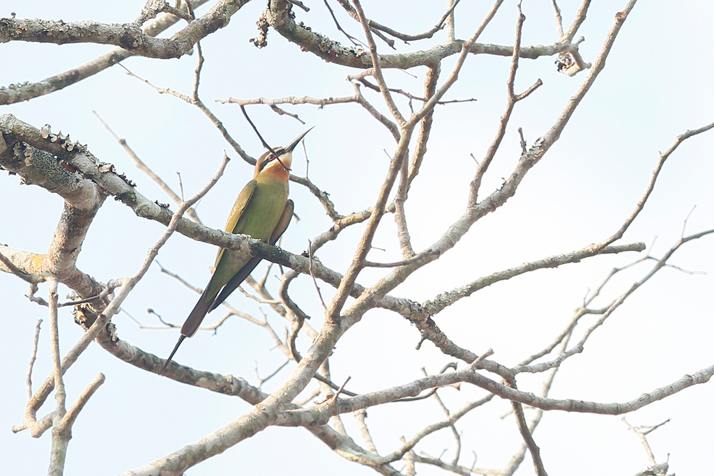 Olive (or Madagascar) Bee-eater – Coutada 12, Mozambique / 13 October 2015
