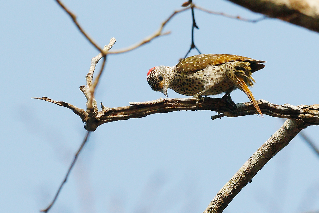 Green-backed Woodpecker (female) / Miombo Woodland, Coutada 12, Mozambique / 14 October 2015