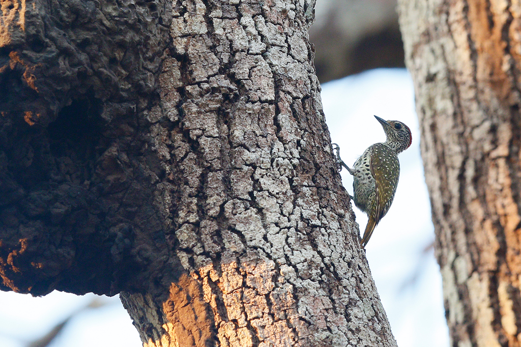Green-backed Woodpecker / Miombo Woodland, Coutada 12, Mozambique / 11 October 2015