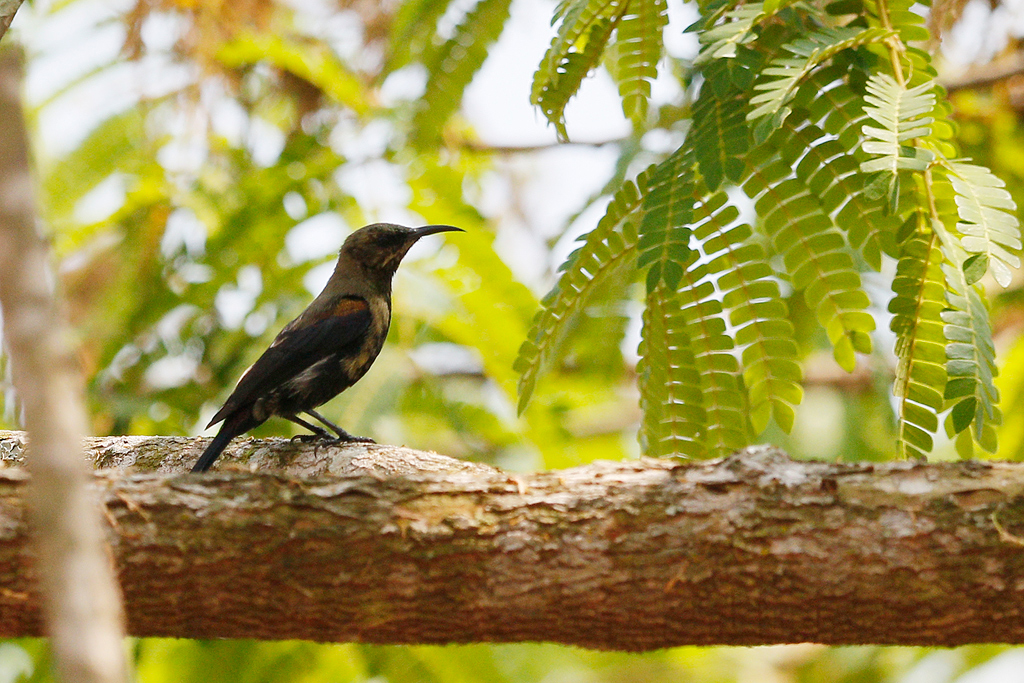 Copper Sunbird / Coutada 12, Mozambique / 11 October 2015