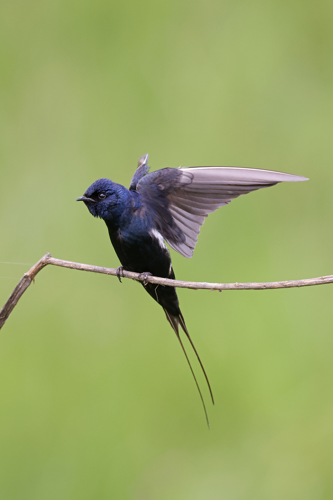 Blue Swallow / Roseland Nature Reserve, Hella Hella, South Africa / January 2020
