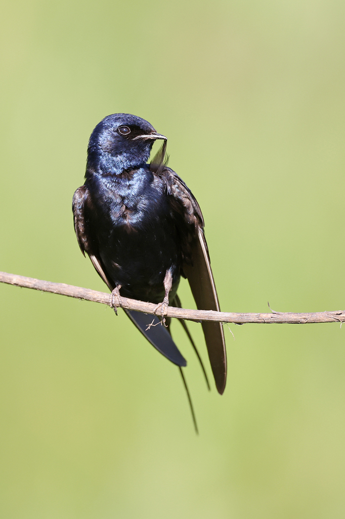 Blue Swallow / Roselands Nature Reserve near Richmond, South Africa / 24 January 2021