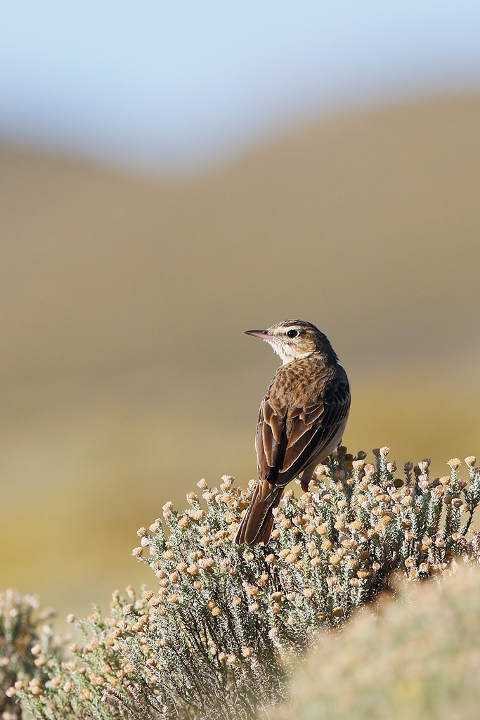 Mountain Pipit / Sani Pass, Lesotho / 17 December 2015
