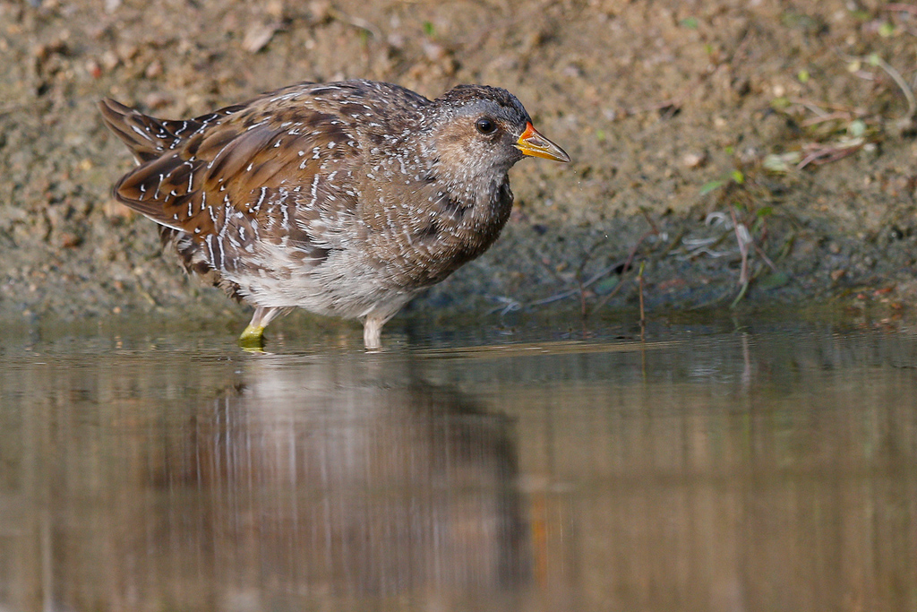 Spotted Crake / Waterfall Estate, Midrand, South Africa / 02 February 2016
