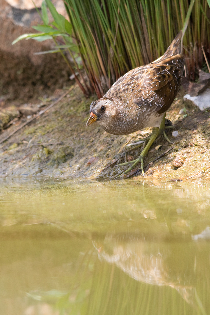 Spotted Crake / Waterfall Estate, Gauteng, South Africa / 23 January 201