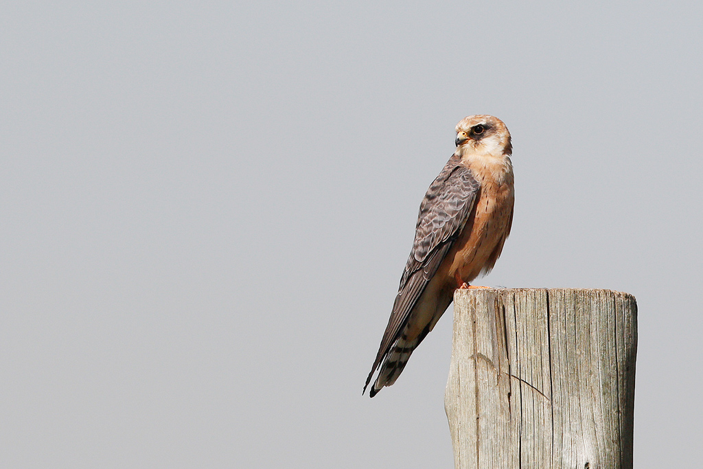 Red-footed Falcon / Eendrcht Road, Suikerbosrand, South Africa / 31 December 2015