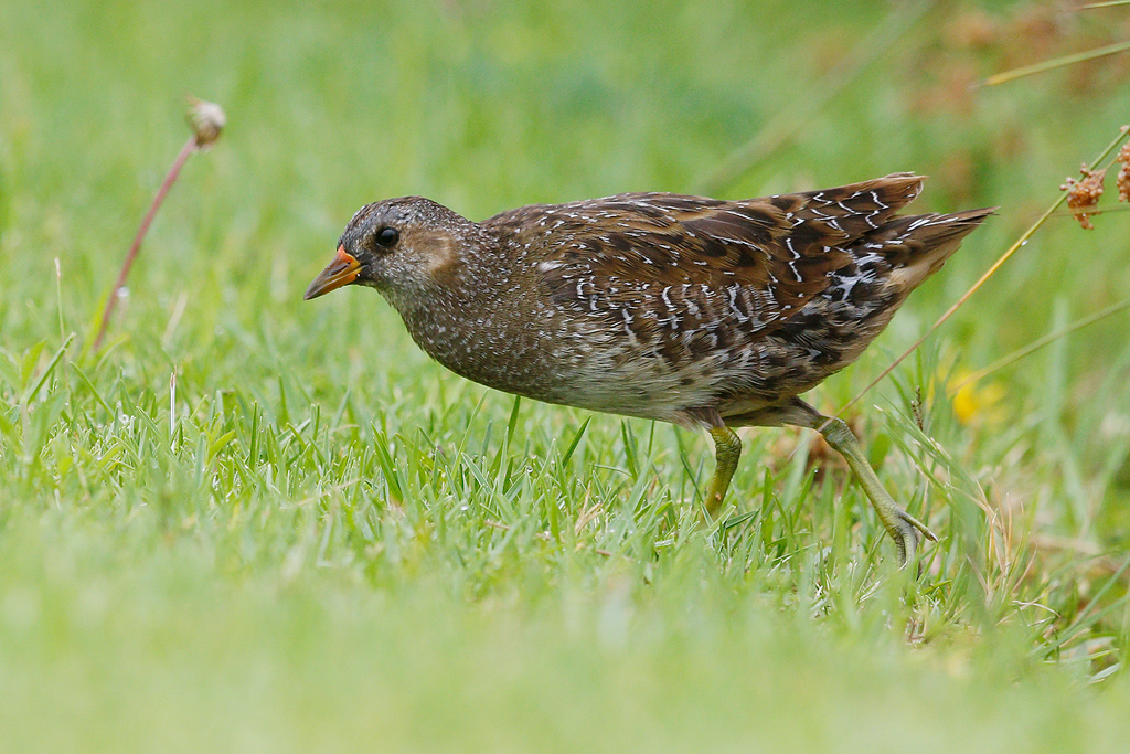 Spotted Crake / Waterfall Estate, Gauteng, South Africa / 24 January 2016