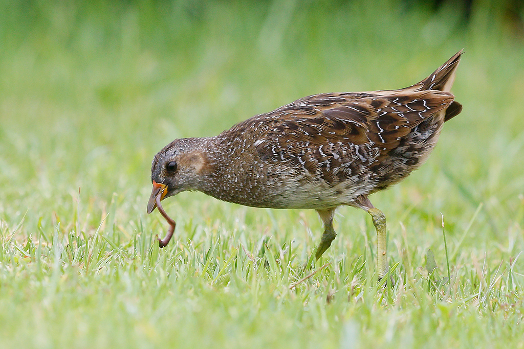 Spotted Crake / Waterfall Estate, Gauteng, South Africa / 24 January 201662