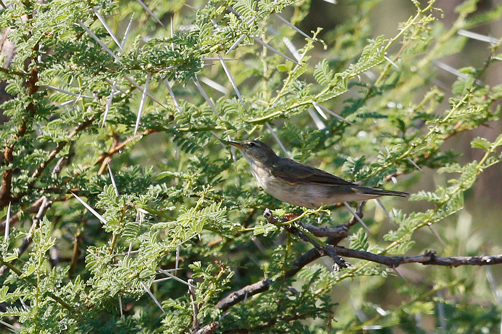 Olive Tree Warbler / Kgomo Kgomo Floodplain, South Africa / 13 Feburary 2016