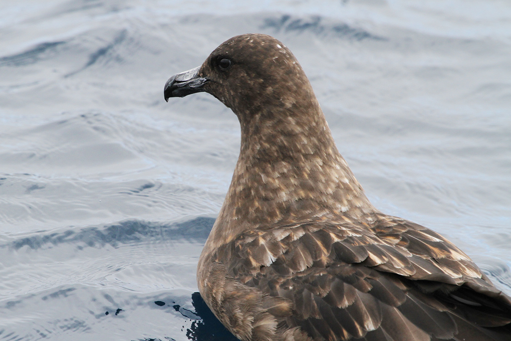 Subantarctic Skua / Off Hout Bay, Cape Town, South Africa