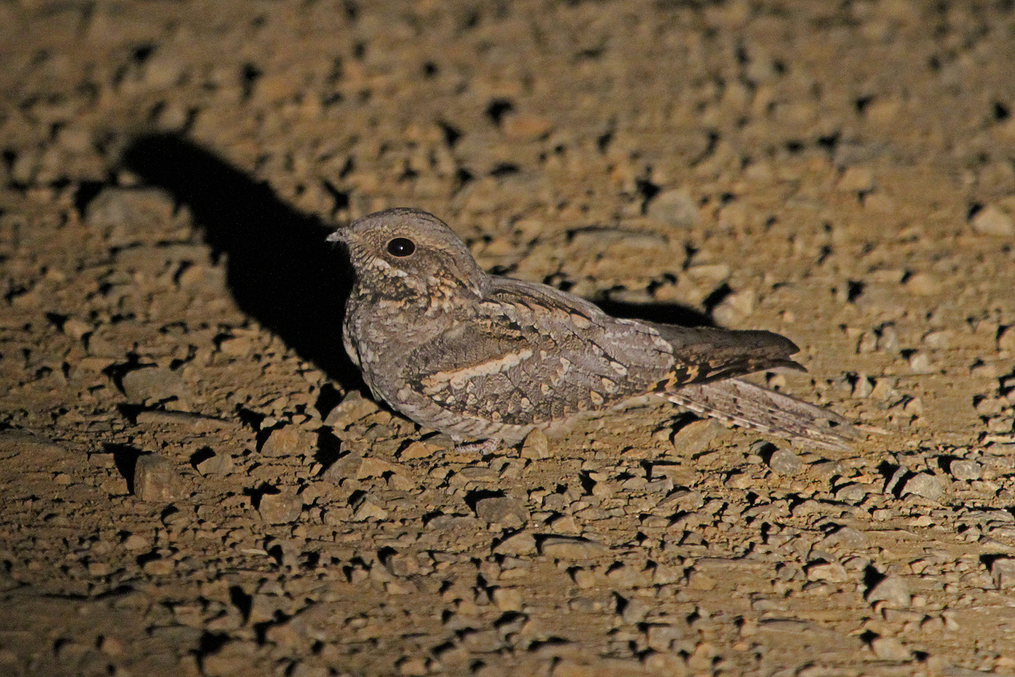 Rufous-cheeked Nightjar (female) / Punda Maria, Northern Kruger, South Africa