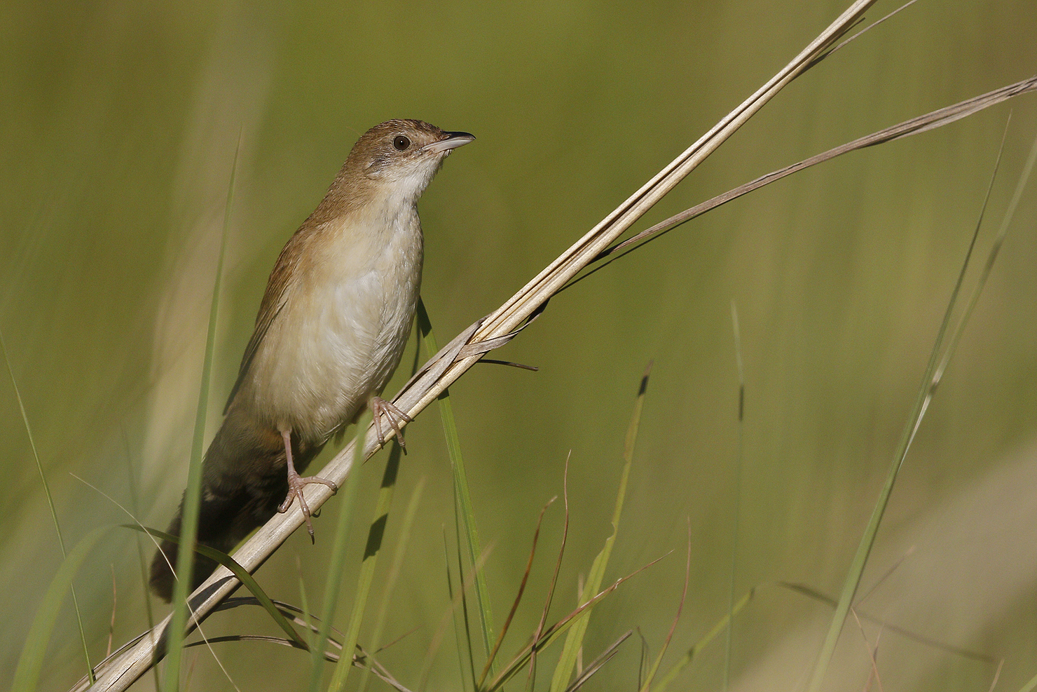 Broad-tailed-Warbler-for-african-yellow-white-eye