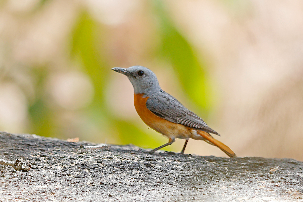 Miombo Rock-thrush (male) / Dzanlanyama Forest, Malawi / 29 October 2016