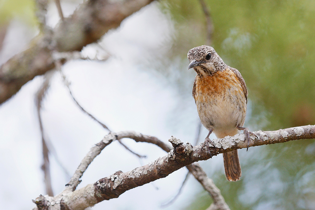 Miombo Rock-thrush (female) / Dzanlanyama Forest, Malawi / 29 October 2016