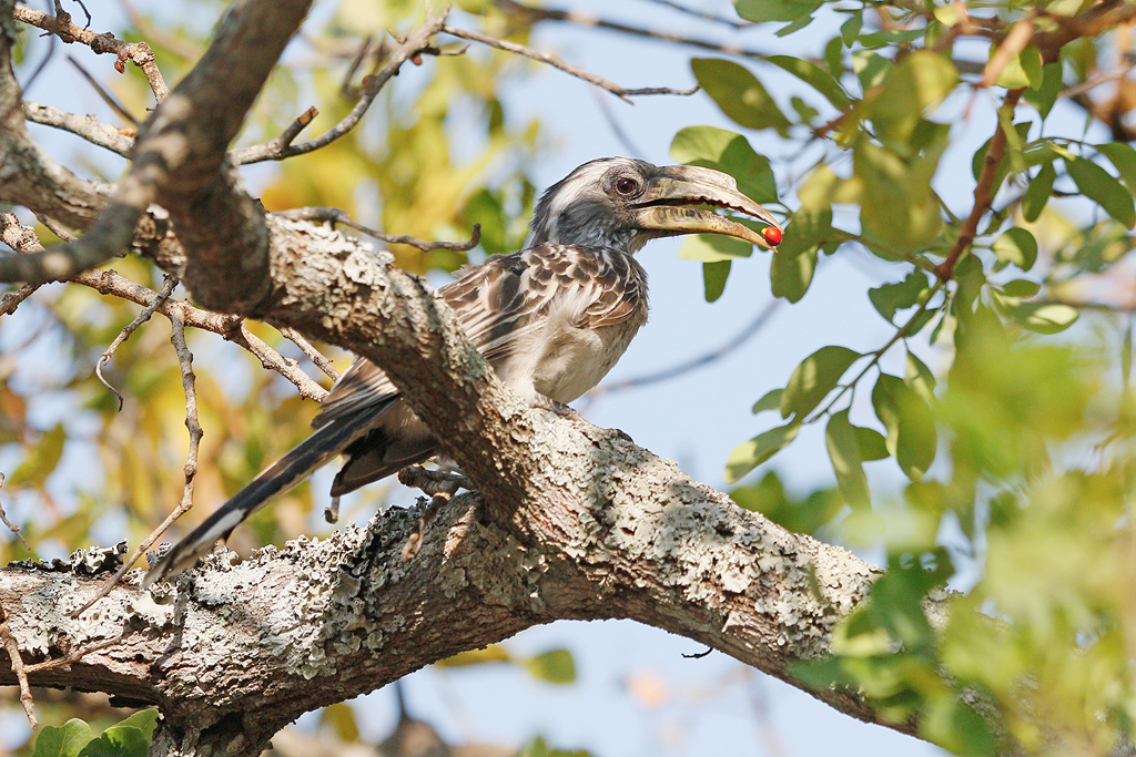 Pale-billed Hornbill / Dzanlanyama Forest, Malawi / 28 October 2016