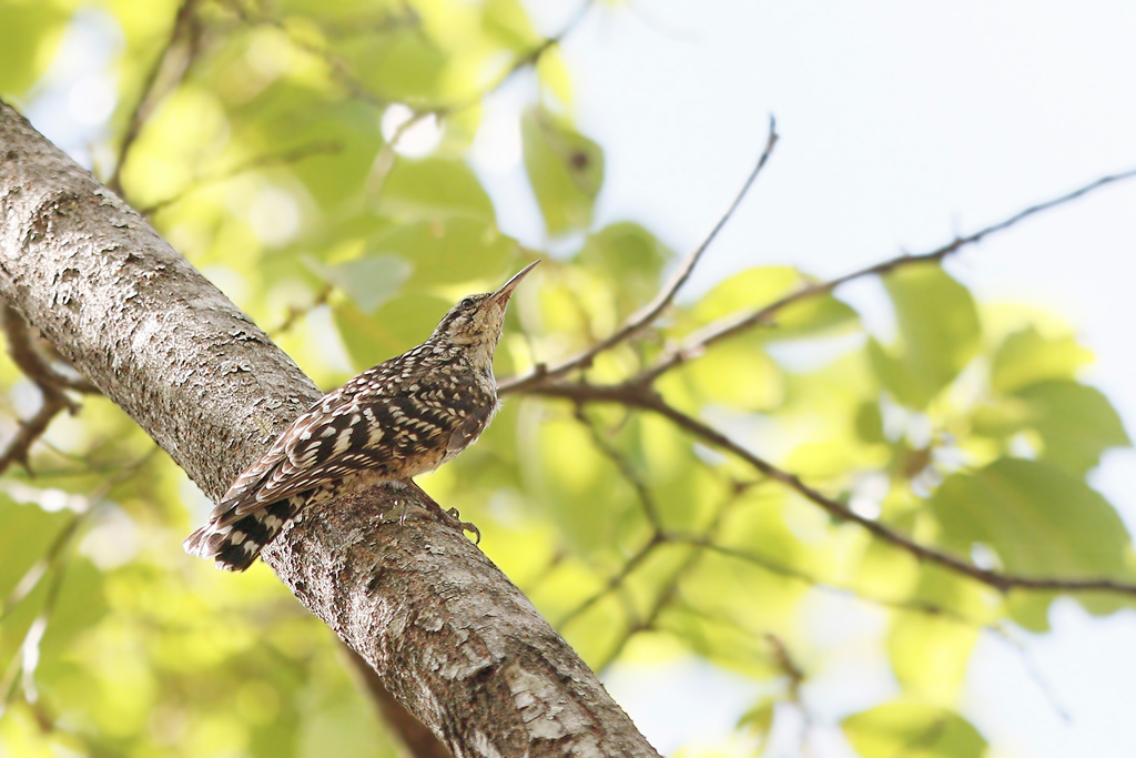 Spotted Creeper / Dzanlanyama Forest, Malawi / 29 October 2016