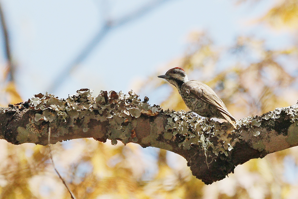 Stielring's Woodpecker (male) / Dzanlanyama Forest, Malawi / 30 October 2016