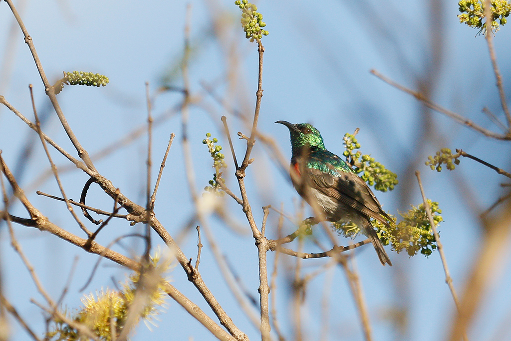Miombo Double-collared Sunbird / Dzanlanyama Forest, Malawi / 29 October 2016