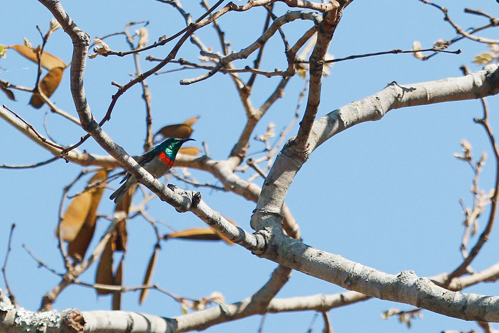 Miombo Double-collared Sunbird / Dzanlanyama Forest, Malawi / 30 October 2016