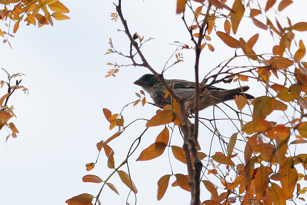 Black-eared Seedeater / Dzanlanyama Forest, Malawi / 30 October 2016