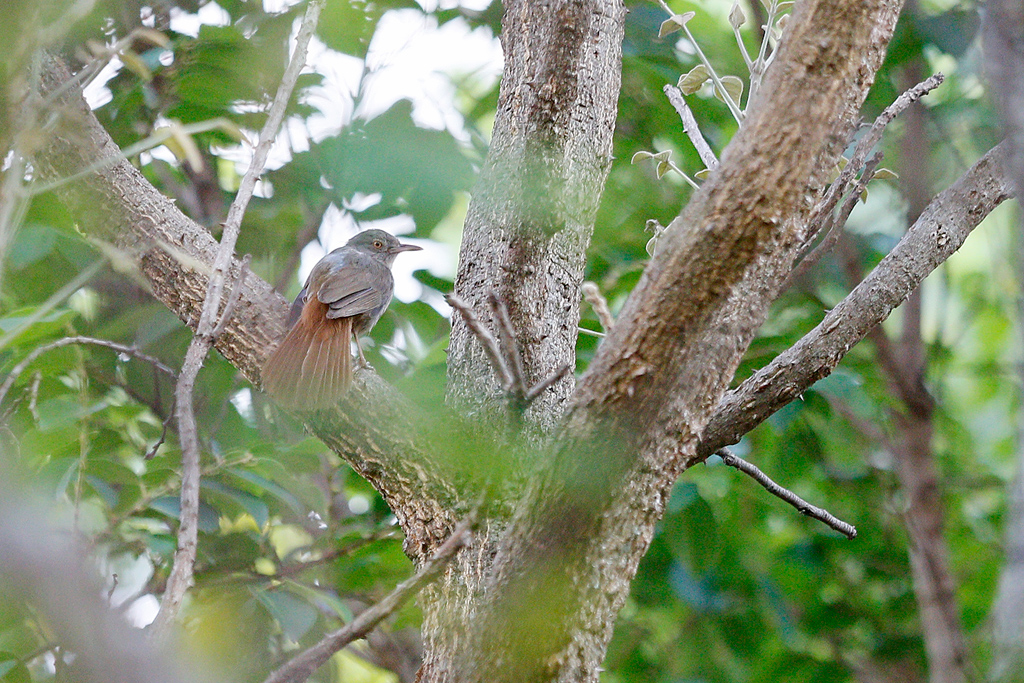 Grey-olive Greenbul / Dzanlanyama Forest, Malawi / 30 October 2016