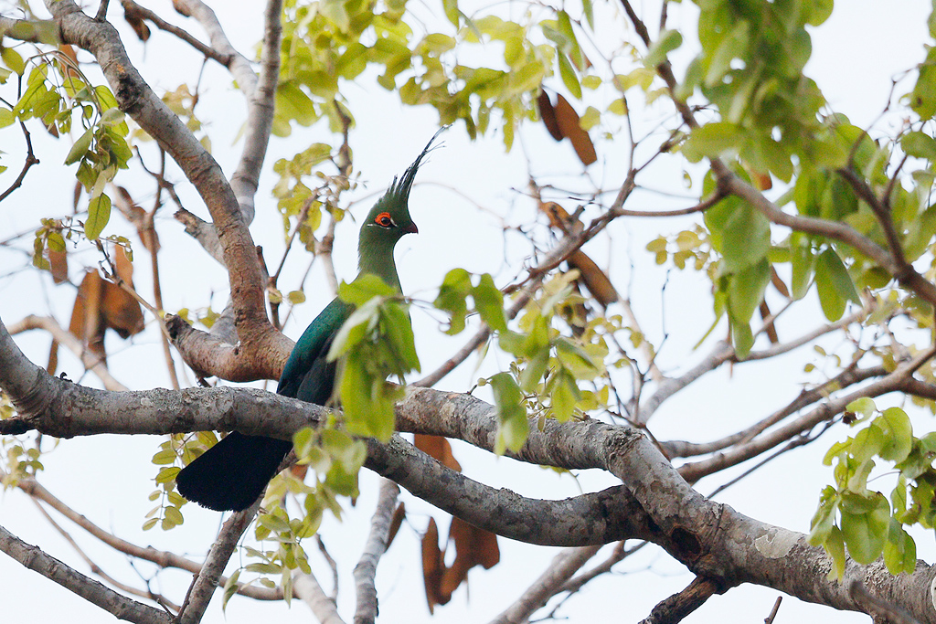 Schalow's Turaco / Dzanlanyama Forest, Malawi / 30 October 2016