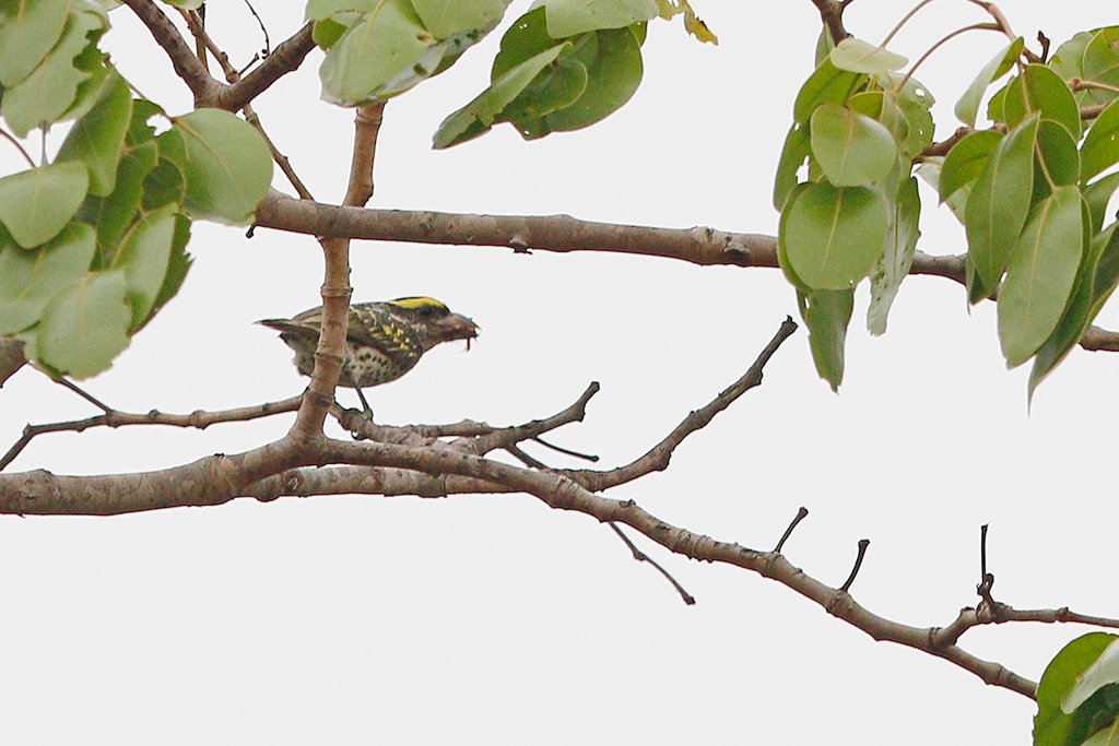 Miombo Pied Barbet / Dzanlanyama Forest, Malawi / 31 October 2016