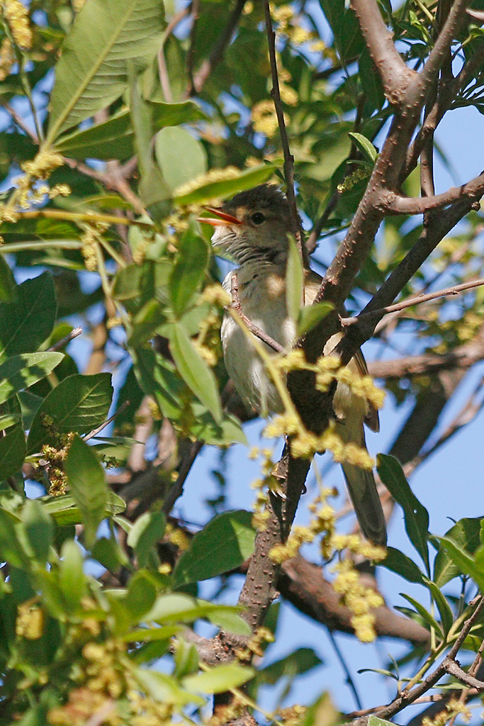 Garden Warbler / Rietvlei Nature Reserve, Gauteng, South Africa / November 2016