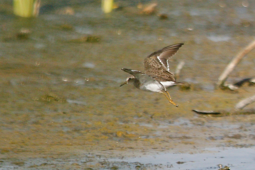 Temminck's Stint / Strandfontein Sewage Works, Cape Town, South Africa / 22 December 2016
