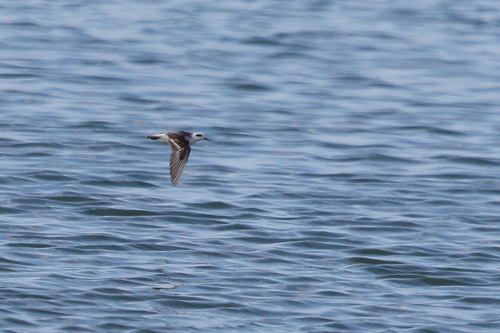 Red-necked Phalarope / Strandfontein Sewage Works, Cape Town, South Africa / 22 December 201